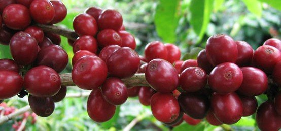 coffee-cherry-berry-fruit-554x260