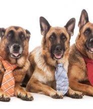 chiens a cravate