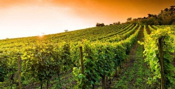 vin grand jaure